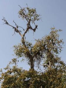 L'arbre à chauve-souris