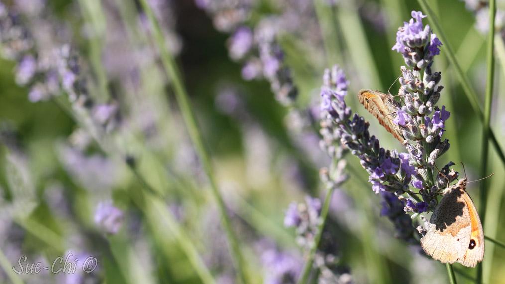 Papillons et lavande
